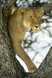 Lioness in the tree Royalty Free Stock Photos