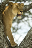 Lioness in the tree Stock Photos