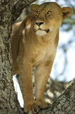 Lioness in the tree Stock Image