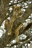 Lioness in the tree Stock Photography