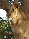 Lioness in a tree Royalty Free Stock Photography