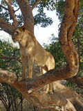 Lioness in a tree Stock Photos