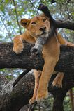 A lioness in a tree in Lake park, Tanzania. Royalty Free Stock Images