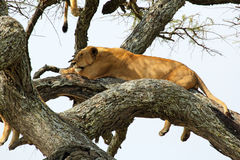 Lioness on a tree Stock Photography