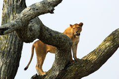 Lioness on a tree Stock Image
