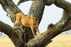 Lioness on a tree Stock Photos