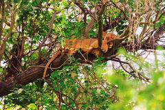 Lioness on a tree Royalty Free Stock Image