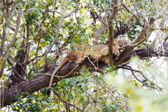 Lioness on a tree Royalty Free Stock Photography