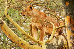 Lioness on a tree Royalty Free Stock Photo