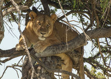 Lioness in a tree Royalty Free Stock Images