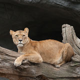 Lioness on a tree trunk. Lioness in a zoo resting on a tree trunk Stock Photos