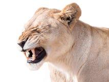 Lioness triste immagini stock