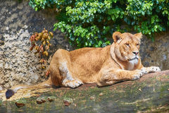 Lioness on Trunk Royalty Free Stock Image