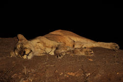 Lioness trying to get rest. Stock Images