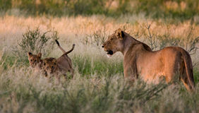 Lioness And Two Cubs Royalty Free Stock Photos