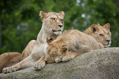 Lioness with two juvenile male lions (Panthera leo). Royalty Free Stock Photography
