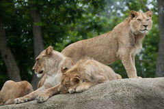 Lioness with two juvenile male lions (Panthera leo). Stock Image