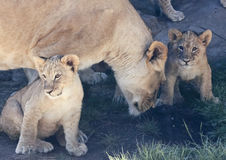 A Lioness with Two Little Cubs Stock Images