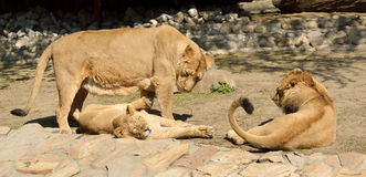 Lioness with two older cubs Royalty Free Stock Photos