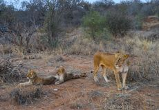 Lioness and two cubs in savannah stock photos