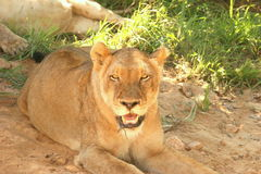 Lioness uncomfortable after meal Stock Images