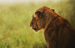 Lioness under rain in the wild Stock Image