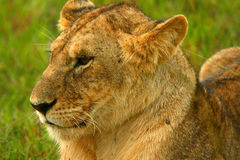 Lioness under rain in the wilderness Royalty Free Stock Photos