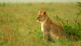Lioness under rain in the wilderness Royalty Free Stock Photography