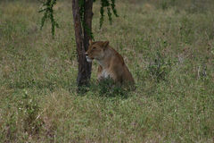 A lioness under a tree Stock Photos