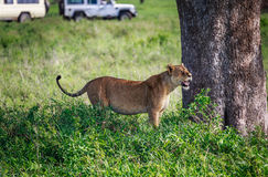 Lioness under the tree Royalty Free Stock Photography