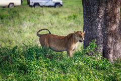 Lioness under the tree Royalty Free Stock Photos
