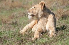 Lioness Up Close in Short Grass Stock Photography