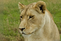 Lioness up close Royalty Free Stock Photos