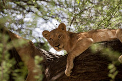 Lioness up in a tree - Tanzania - Park National Royalty Free Stock Photo