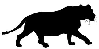 Lioness vector silhouette. Cougar. Mountain lion.  Black panther in hunting. Lioness vector silhouette illustration isolated on white background. Animals king Royalty Free Stock Images