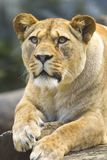 Lioness (vertically) Royalty Free Stock Images