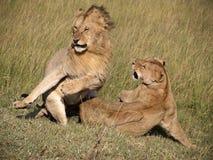 Lioness verwerping Royalty-vrije Stock Afbeeldingen