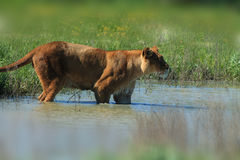 Lioness Wading through water , close up. Lioness Wading through water ,  wildlife Stock Images