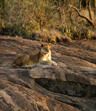 Lioness in waiting Stock Photography