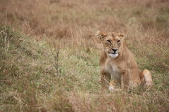 Lioness waiting Stock Photo