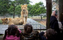 A lioness waits for feeding time watched children Royalty Free Stock Image
