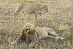 Lioness walk behind of resting lion. African lions pride (Panthera Leo) enjoying rest after feeding on their kill  in Masaio Mara National Park, Kenya, East Royalty Free Stock Image