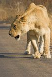 Lioness walking. Along the road searching for prey Royalty Free Stock Photography
