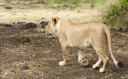 Lioness walking along road Stock Photography