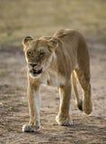 Lioness walking along the road in the national park. Kenya. Tanzania. Maasai Mara. Serengeti. Royalty Free Stock Photos
