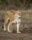 Lioness walking along the road in the national park. Kenya. Tanzania. Maasai Mara. Serengeti. Stock Image