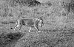 Wild lion mother Royalty Free Stock Photo