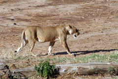 Lioness walking by dry river. Side view of lioness walking by dry river bed, Kenya, Africa stock image
