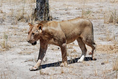 Lioness walking in dry savanna, Tanzania Stock Photography