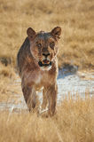 Lioness walking in frontally in  Etosha National Park. Lioness walking to a waterhole to drink, photographed from the front in the Etosha National Park Royalty Free Stock Photos